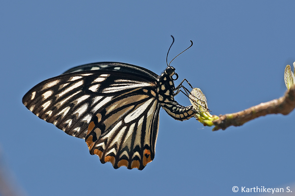 A Common Mime laying eggs on a tender shoot high up in the tree.