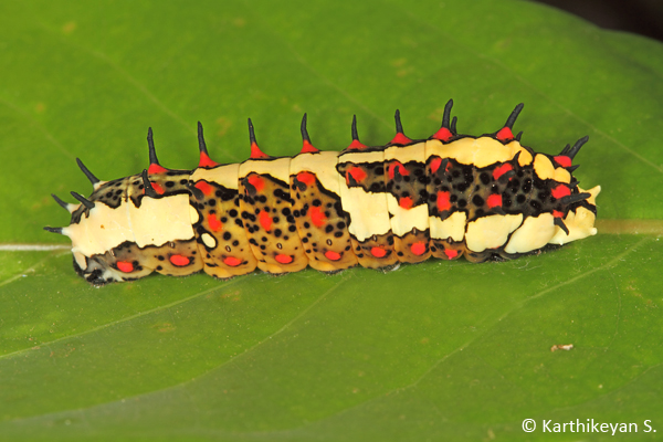 A fully grown larva ready to pupate.