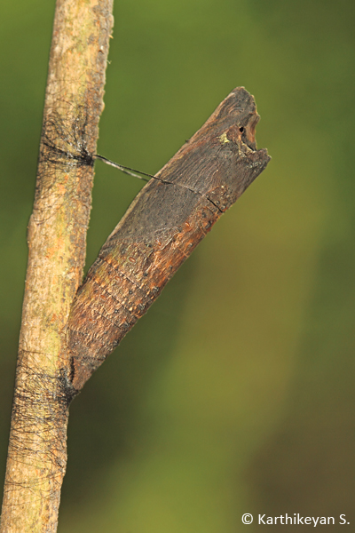 An amazing camouflage. The pupa of the Common Mime resembles very much like a broken twig. Spotting one of these can be quite a challenge.