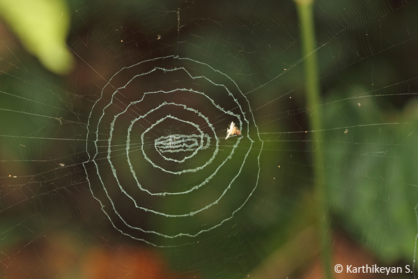 9e2780c57f2 The Debris Orb Weaver Cyclosa sp. – Karthik's Journal