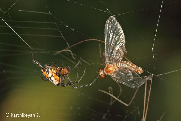 mayfly entangled in the web of Opadometa fastigata, an orb weaver.