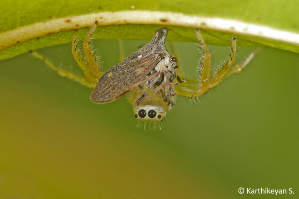 Another jumping spider Epeus sp. feeding on a planthopper.