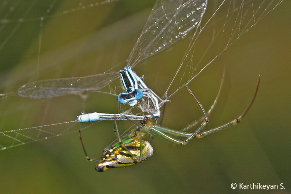 A damselfly in the web of Leucauge decorata