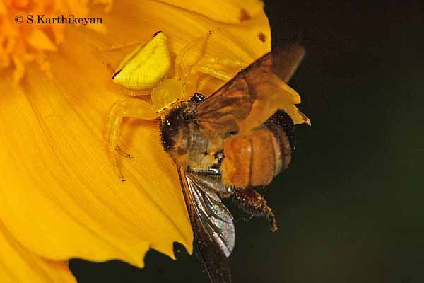 An unsuspecting bee becoming a meal of the hiding crab spider Thomisus lobosus that waits inside flowers.