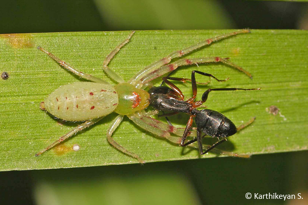 An active Crab spider Oxytate elongate feeding on an ant Camponotus sp.