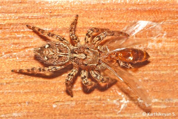 Plexippus sp. – a jumping spider feeding on an ant alate.