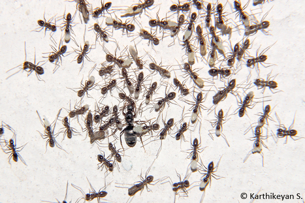 Black Crazy Ant Paratrechina longicornis queen being escorted by workers, some carrying eggs, while others larvae and pupae.