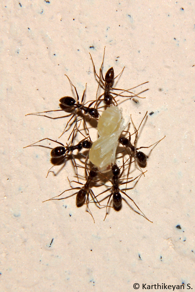 Team work - Four Black Crazy Ants Paratrechina longicornis carrying a pupa.