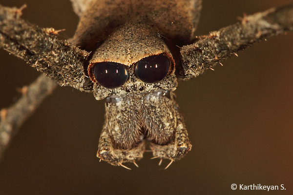 The large eyes if the Net-casting Spider