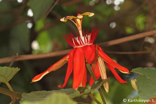 The bright colour of Passiflora coccinea grabs your attention.