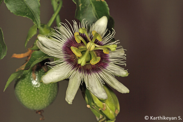 Passion Fruit with the unripe fruit in the background.