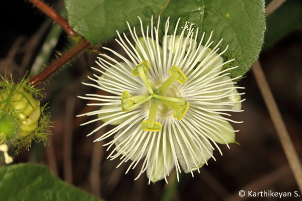 The more demure Passiflora subpeltata that grows wild.