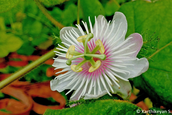 The beauty of Passiflora foetida was captivating