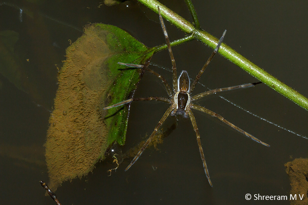 Fishing Spider from Agumbe.