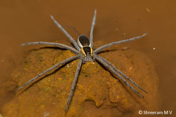 A very attractive fishing spider on the water surface from Amboli, Maharashtra.