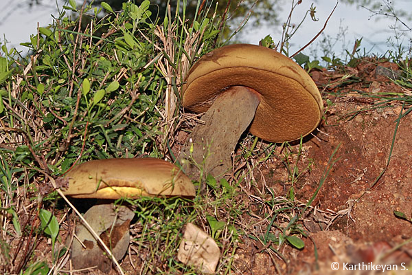 This one was huge indeed. Photographed in Bannerghatta, this was the size of a human head!