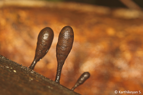 Club Fungi Xylaria sp. - seen often growing on trees.