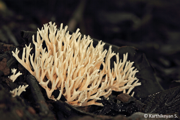 Coral Fungi (Clavaroid fungi) Clavaria sp. - growing on the forest floor in high rainfall areas.