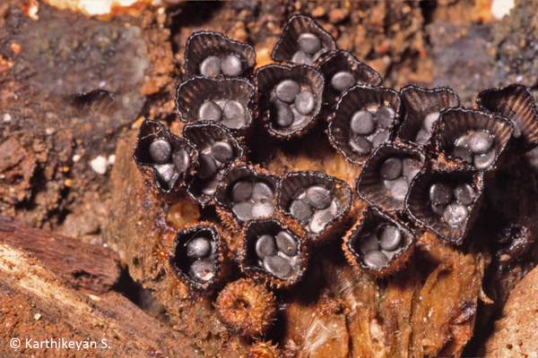 The fascinating Bird's Nest Fungi, Cyathus sp., not only occurs in Bangalore but also in heavy rainfall areas like Agumbe. More about the Bird's Nest Fungi