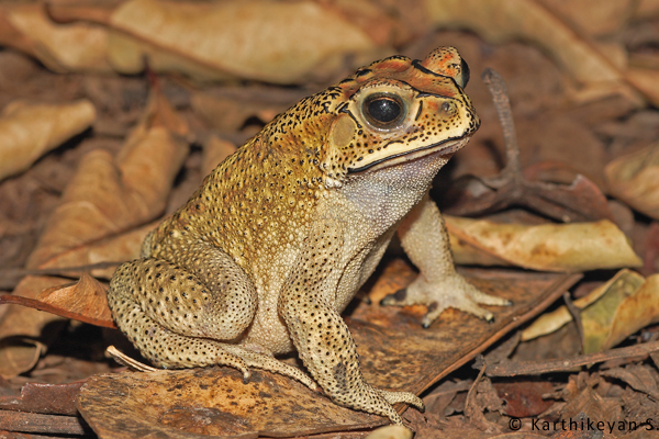 Common Indian Toad : holding on for now. Perhaps a little more 'development' and it may follow the Indian Skipper Frog.