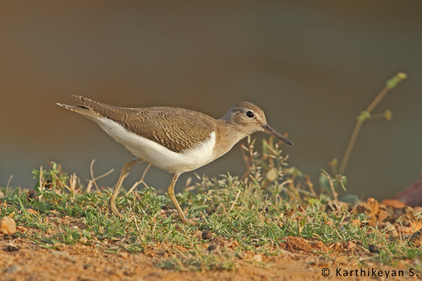 The migratory Common Sandpiper that was seen occasionally does not find the habitat suitable any longer.