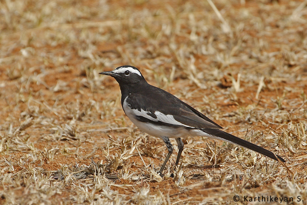 Large Pied Wagtail