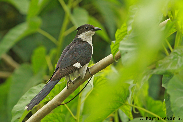 The Pied Crested Cuckoo.