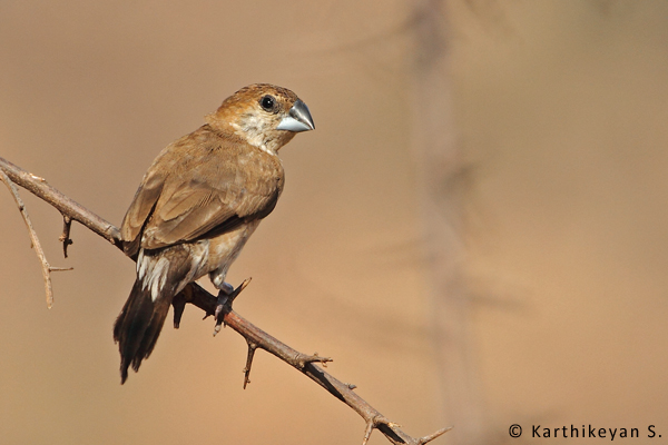 The Indian Silverbill was seen along with the other munias.