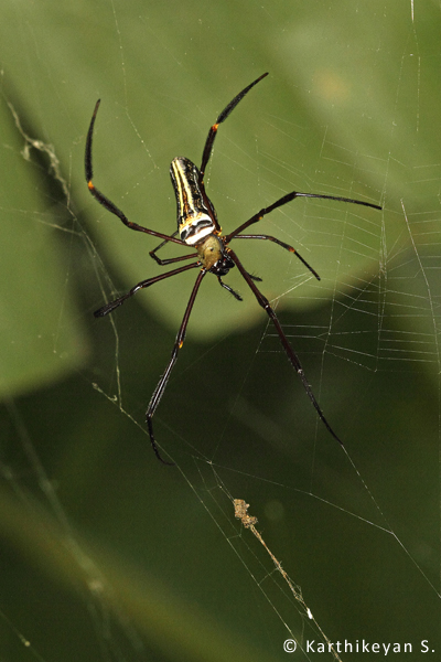 The Giant Wood Spider Nephila pilipes that surprised me with its sudden appearance in my garden.