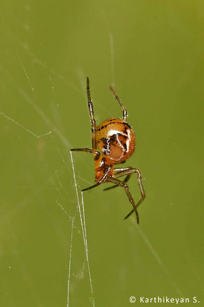 Parasteatoda mundula – This is a tiny globular spider that builds an irregular web in low bushes in the garden.
