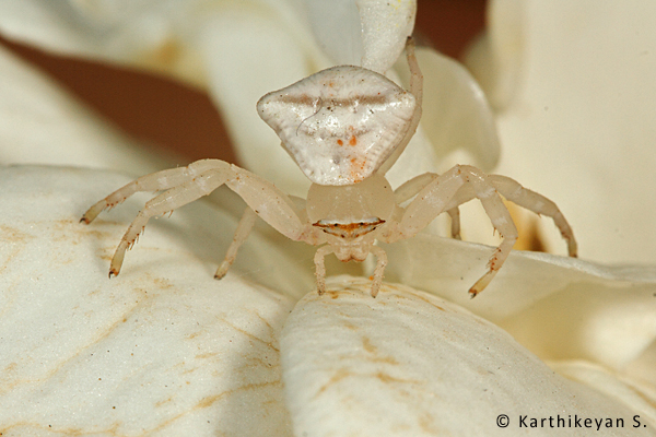 Crab Spider Thomisus sp. – This individual was lurking in the fragrant flowers of the Gardenia plant hoping to ambush any insect that may visit the flower.