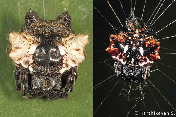 Thelacantha brevispina – Two very different variations of the same species.