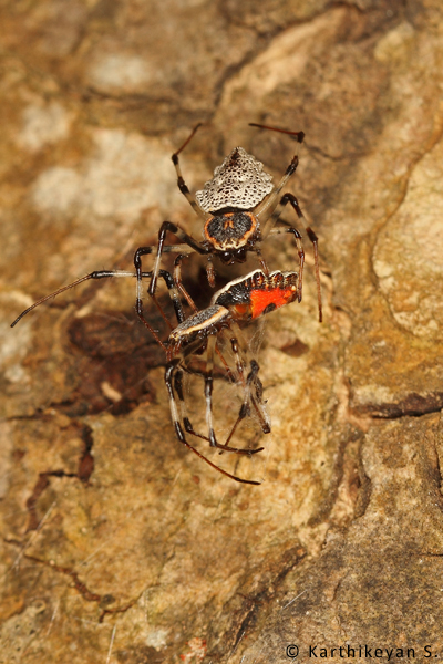 The bright orange-red of the undersides showing as the limp spider is turned. around