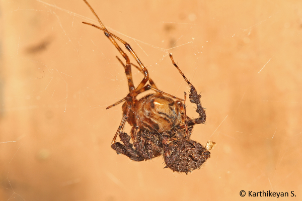 A Portia feeding on a Theridid spider. Read more about the Portia here.