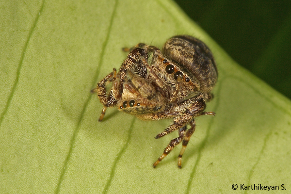 A Rhene sp. spider feeding on another of its own kind!