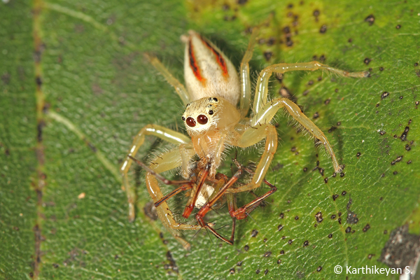 Another instance of a Two-striped Jumper feeding on a Lynx Spider.