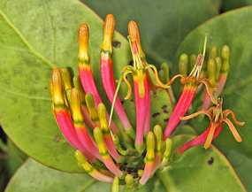 Mistletoe – a partial parasite