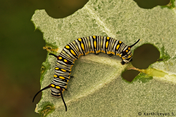 A colourful caterpillar of the Plain Tiger butterfly that uses the Giant Milkweed as one of its larval host plant.