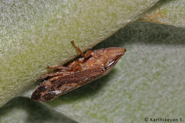 A froghopper on the milkweed.