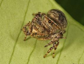 Spider eat spider