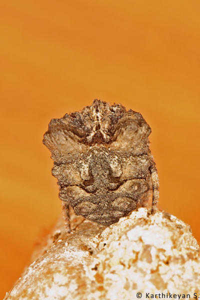 The Tree-stump Spider Poltys nagpurensis - another perspective.