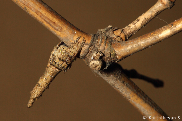 Another Poltys sp. resting at the node on a bamboo.