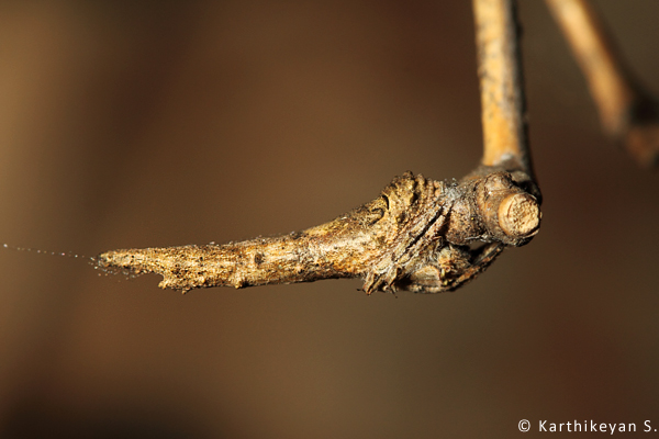 Amazing camouflage - the spider looks so much like a part of the bamboo.