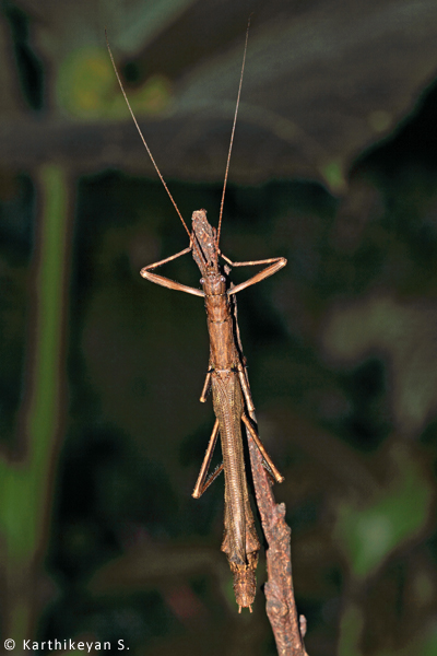 The stick insect rests in such a way that it is difficult even for trained eyes to discern its presence.