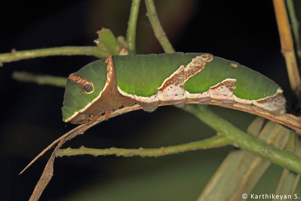 Caterpillar Karthikeyan S _MG_7756a