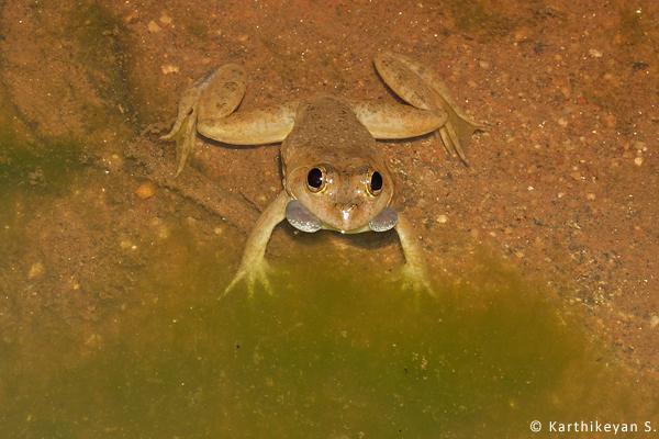 Frog calling Karthikeyan S CRW_2734a