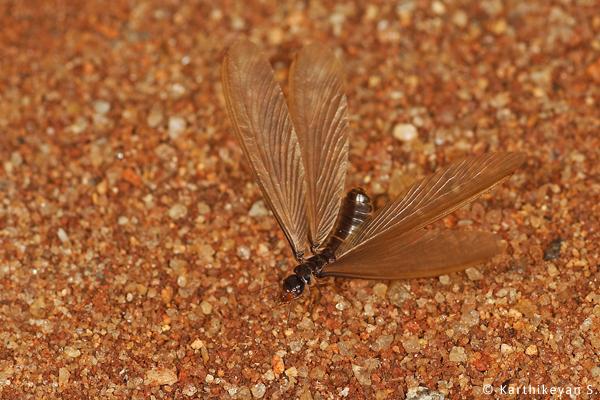 Termite alate Karthikeyan S _MG_1680a