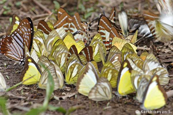 A congregation of some mud-puddling Pieriids and Papilionids.