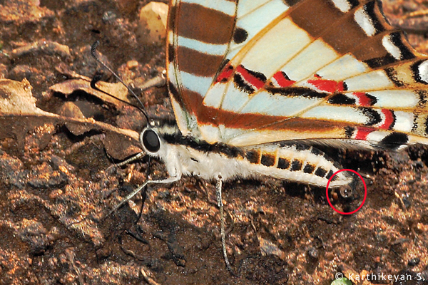 A Spot Swordtail expelling drops of water while mud-puddling.