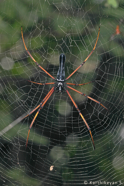The Black Wood Spider Nephila kuhlii that is sometimes seen in the company of N. pilipes.
